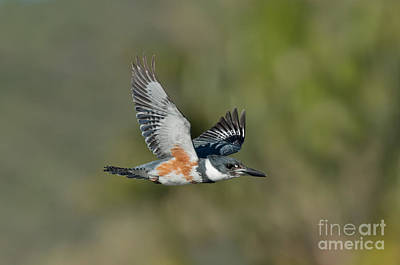 Belted Kingfisher Wall Art - Photograph - Belted Kigfisher Female Flying by Anthony Mercieca