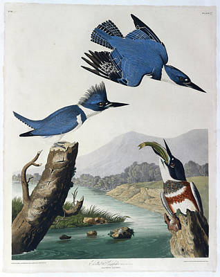 Kingfisher Wall Art - Photograph - Belted Kingfisher by British Library