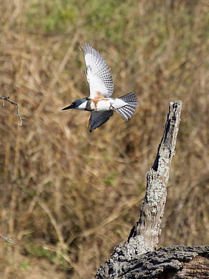 Photograph - Belted Kingfisher by David Lester