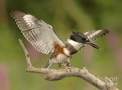 Belted Kingfisher Wall Art - Photograph - Belted Kingfisher Displaying by Scott Linstead