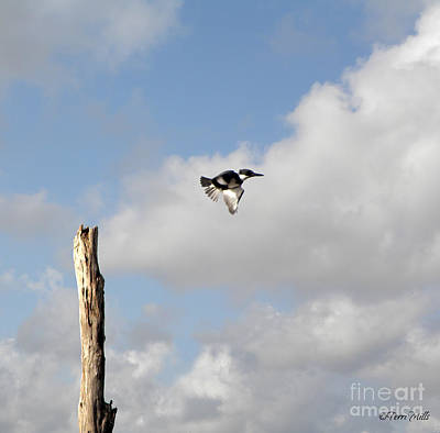 Belted Kingfisher In Flight Art Print
