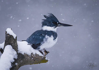 Belted Kingfisher Wall Art - Photograph - Belted Kingfisher In Snow - Profile by Greig Huggins