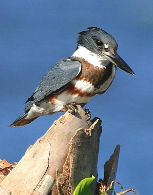Photograph - Belted Kingfisher by Ira Runyan