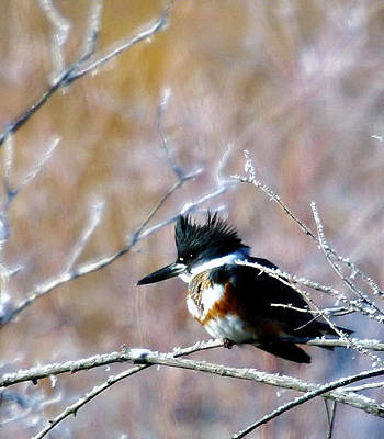 Belted Kingfisher  Print by Jeff Swan