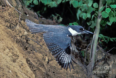 Belted Kingfisher Wall Art - Photograph - Belted Kingfisher Leaving Nest by Anthony Mercieca