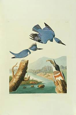 Belted Kingfisher Wall Art - Photograph - Belted Kingfisher by Natural History Museum, London/science Photo Library
