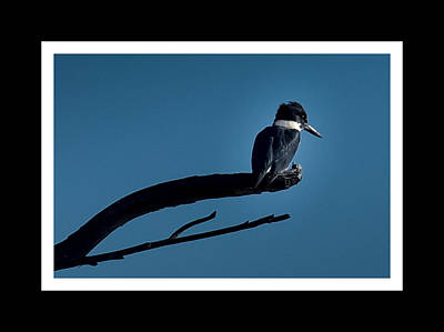 Belted Kingfisher Wall Art - Photograph - Belted Kingfisher Resting by Ernie Echols