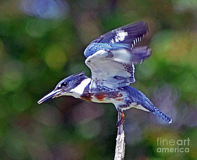 Metamora Photograph - Belted Kingfisher by Rodney Campbell