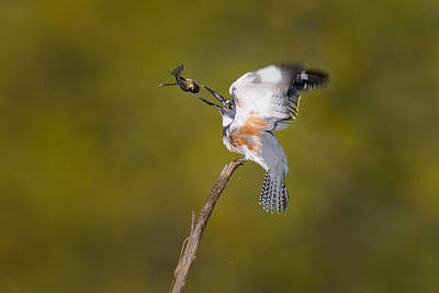 Belted Kingfisher Wall Art - Photograph - Belted Kingfisher With Frog Prey by Thomas And Pat Leeson