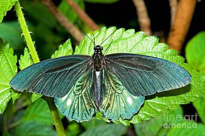 Battus Photograph - Belus Swallowtail by Millard H. Sharp