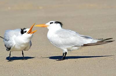 Common Tern Photograph - Bending Mom's Ear  by Fraida Gutovich