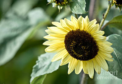 Photograph - Bending Sunflower by Cheryl Baxter
