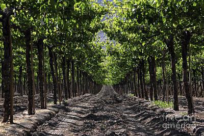 Dappled Light Photograph - Beneath The Vines by James Brunker