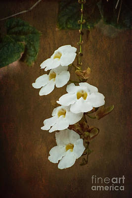 Photograph - Bengal Clockvine  by MaryJane Armstrong