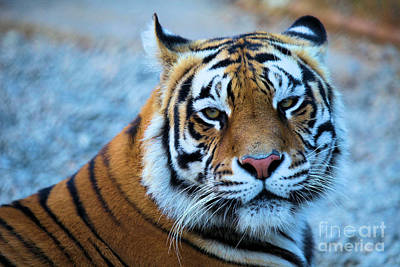 Photograph - Bengal Gaze by Adam Jewell