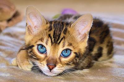 Photograph - Bengal Kitten Closeup by Jane Girardot