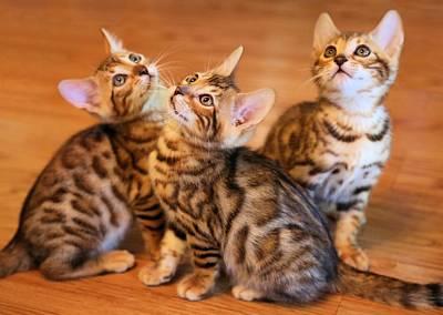 Photograph - Bengal Kitten Poses by Jane Girardot