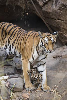 Photograph - Bengal Tiger And Cubs Bandhavgarh Np by Suzi Eszterhas