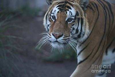 Photograph - Bengal Tiger by Brenda Schwartz