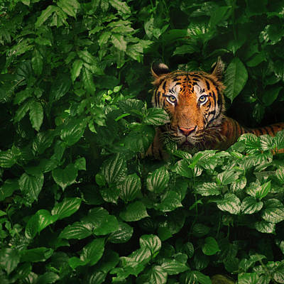 Photograph - Bengal Tiger by By Toonman