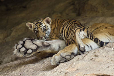 Photograph - Bengal Tiger Cub On Paw Bandhavgarh Np by Suzi Eszterhas