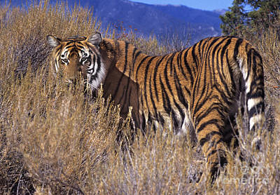 Photograph - Bengal Tiger Endangered Species Wildlife Rescue by Dave Welling