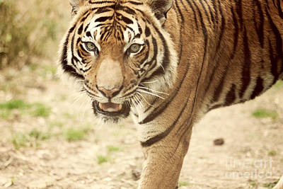 Wild And Wacky Portraits Rights Managed Images - Bengal Tiger II Royalty-Free Image by Erin Johnson