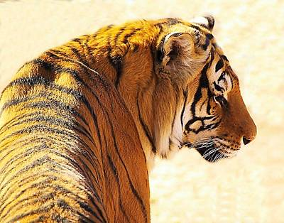 Bengal Tiger In Thought Art Print by JAXINE Cummins
