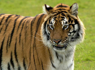Felidae Photograph - Bengal Tiger by Nigel Downer