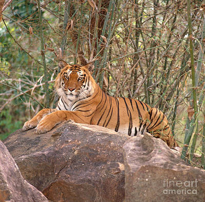 Photograph - Bengal Tiger Panthera Tigris by E Hanumantha Rao