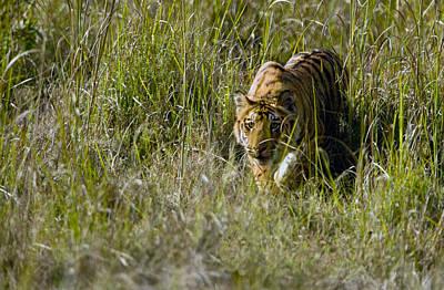 Bengal Tiger Panthera Tigris Tigris Cub Art Print