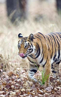 Fallen Leaf Photograph - Bengal Tiger Panthera Tigris Tigris by Panoramic Images