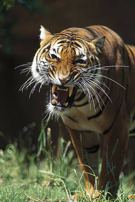Bengal Tiger Snarling Art Print by San Diego Zoo
