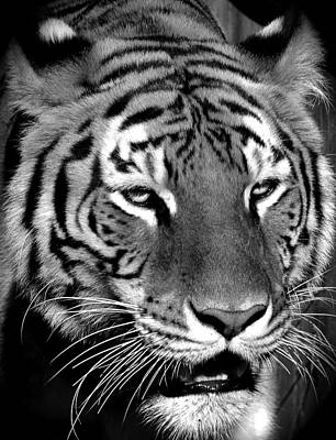 Bengal Tiger In Black And White Art Print by Venetia Featherstone-Witty