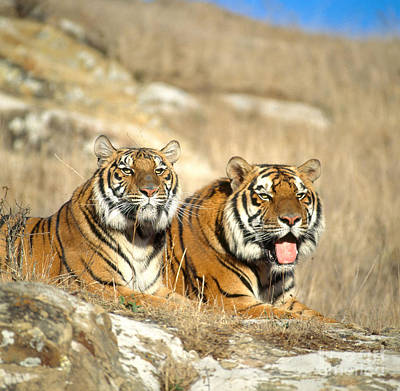 Photograph - Bengal Tigers by Hans Reinhard