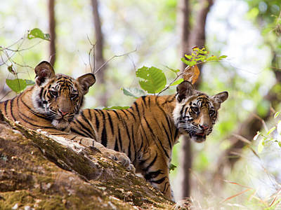 Photograph - Bengal Tigers In Bandhavgarh Np, India by Davidcallan
