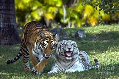 Royal Bengal Tiger Photograph - Bengal Tigers by Mark Newman