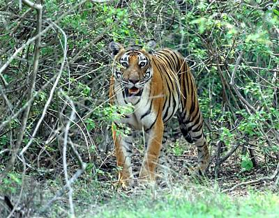 Bengal Tigress In The Bush Art Print