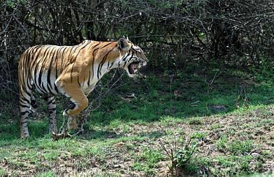 Bengal Tigress Snarling Art Print