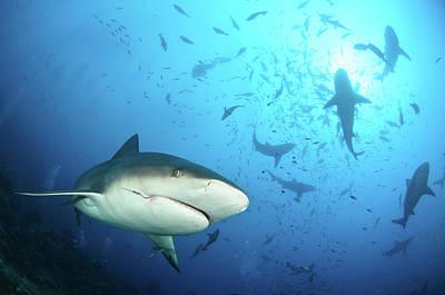 Nurse Shark Photograph - Beqa Shark Labs by Alexander Safonov