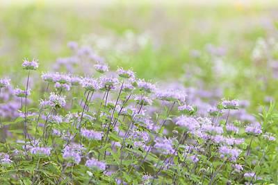 Photograph - Bergamot Blooms by Bernard Lynch