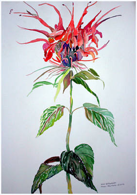Drawing - Bergamot by Mindy Newman