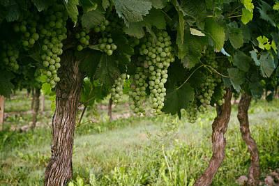 Grapevines Photograph - Bergerac Grapes by Georgia Fowler