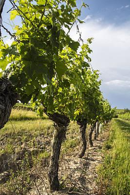 Grape Vine Photograph - Bergerac Grape Vines by Georgia Fowler