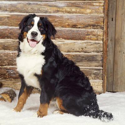 Dog In Snow Photograph - Bernese Mountain Dog by John Daniels