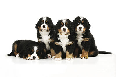 Photograph - Bernese Mountain Dog Puppies by John Daniels