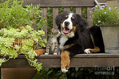 Photograph - Bernese Mountain Puppy And Kitten by Jean-Michel Labat
