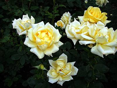 Photograph - Berolina Rose by George Cousins