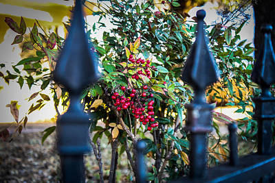 Photograph - Berries And Iron by Jeff Mize