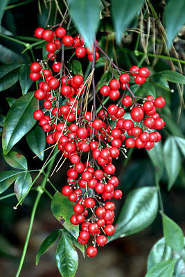 Photograph - Red Berries - Green Leaves by Bob Slitzan